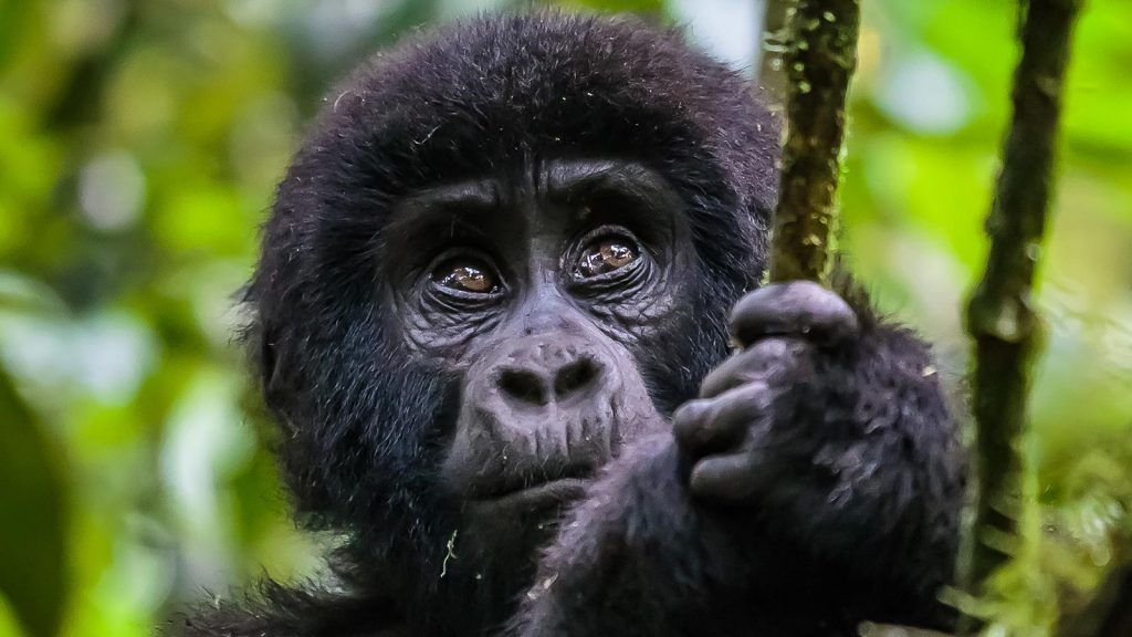 Junior mountain gorilla