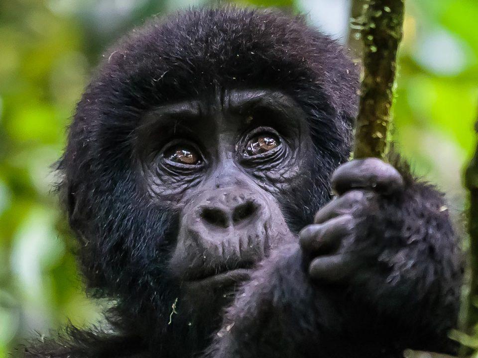 2020 uganda gorilla trekking permit prices
