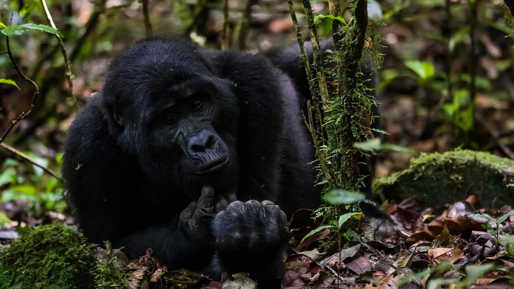MOuntain gorilla trekking what to expect
