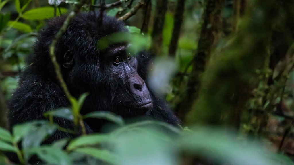 gorilla tracking tours in uganda