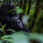 Gorilla Trekking Safari in Rwanda and Uganda